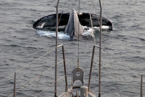 Humpbacks 227