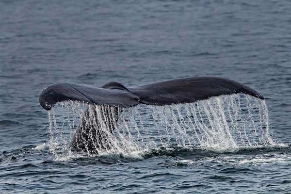 Humpbacks 446 2