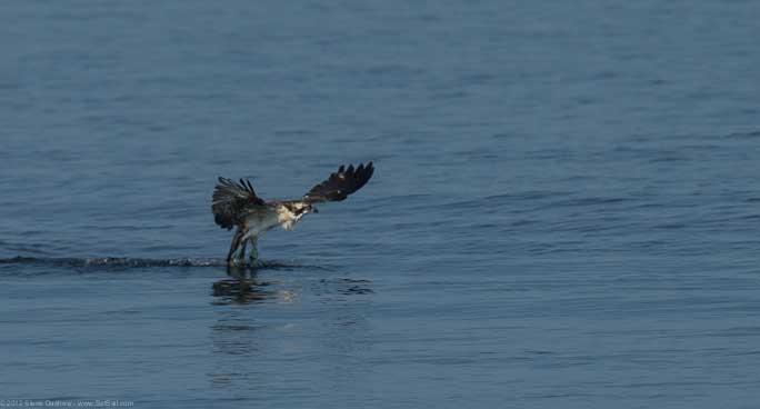 Osprey chick First Flight Pulpit Hrb 104