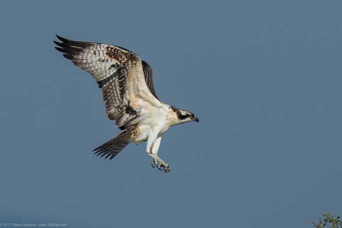 Osprey chick First Flight Pulpit Hrb 106